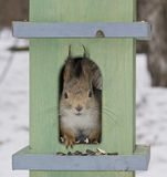 The Squirrel In A Small House Royalty Free Stock Image