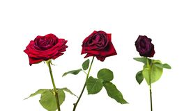 Free The Stages Of The Life Cycle Of Red Rose From Flowering To Wilting On White Isolated Background Royalty Free Stock Images - 140030469