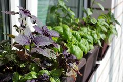 Free The Stylish Interior Of Home Garden On The Window Sill. Fresh Herbs On The Window Sill: Multicolored Basil Stock Images - 121071674