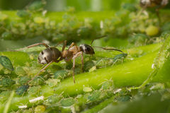 Free The Symbiosis Of Ants And Aphids. Ant Tending His Flock Of Aphids Royalty Free Stock Image - 86514776