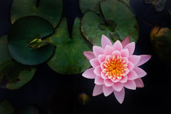 The Top View Of Beatiful Pink Lotus Stock Images