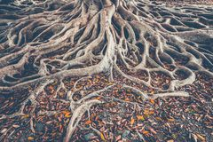 Free The Tree Root System On The Ground. Background. Royalty Free Stock Photography - 117783477