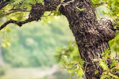 Free The Trunk Of A Young Oak Tree In Spring With Green Leaves With Copy Space Royalty Free Stock Images - 136094289