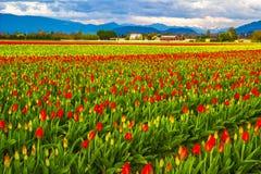 The Tulip Farm Stock Image