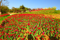 Free The Tulip Flowers Stock Photos - 95488163