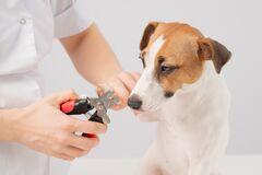 Free The Veterinarian Cuts The Dog Jack Russell Terrier& X27;s Claws On A White Background. Royalty Free Stock Photos - 215320798