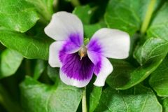 Free The Violet Viola Hederacea From Australia. Royalty Free Stock Image - 115078066
