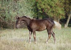 Free The Warmblood Foal On A Meadow Royalty Free Stock Images - 144325269