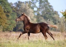Free The Warmblood Foal Runs On A Meadow Royalty Free Stock Photography - 144324627