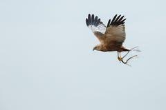The Western Marsh Harrier (Circus Aeruginosus) Stock Photography