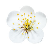 The White Cherry Flower With Yellow Stamens Stock Images