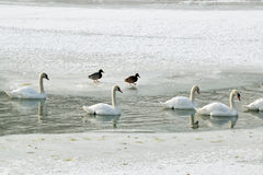 The White Swans On Ice And River Royalty Free Stock Image