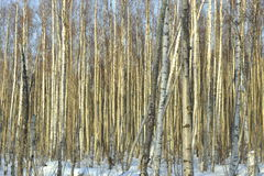 The Winter Birch Forest Stock Images