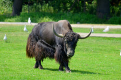 Free The Yak Royalty Free Stock Photography - 50953537