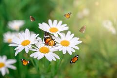 Free The Yellow Orange Butterfly Is On The White Pink Flowers In The Green Grass Fields Stock Photography - 170603712