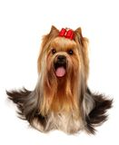 The Yorkshire Terrier Of Show Class Royalty Free Stock Photography