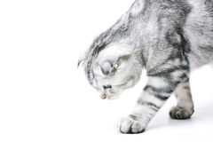 The Young Cat Royalty Free Stock Images