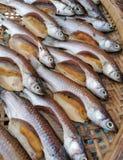 Theadfin di Fourfinger Salmone indiano immagini stock libere da diritti
