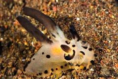 Thecacera Nudibranch,海参 库存图片