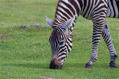 Theclose-up зебры есть траву Стоковое Фото