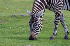 Theclose-up of a zebra eating the grass Stock Photo
