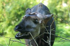 Okapi detail. Thed closeup of eating okapi Royalty Free Stock Photo