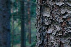 Thee树干特写镜头,在背景的神秘的松木 杉木 免版税库存图片