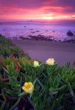 Thee Iceplants i Stillahavskusten Fotografering för Bildbyråer