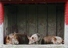 Thee kleine Schweine Stockfotografie
