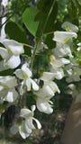Thee kwiatu biała akacja jak sammer marzy obraz royalty free