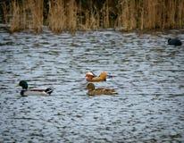 Thee-Spezies von Enten und ein entfernter Blässhuhnvogel gesehen auf einem berühmten, britischen See während des Herbstes stockbild