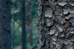 Thee-Stammnahaufnahme, mystisches Kiefernholz auf dem Hintergrund kiefer Lizenzfreies Stockbild