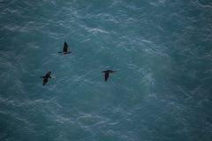 Thee zwarte zeemeeuwen die met zeewater op achtergrond vliegen stock foto