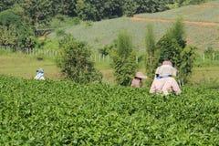 Theeaanplanting Stock Fotografie