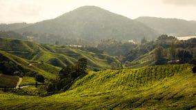 Theeaanplanting bij de hooglanden van Cameron, Maleisië royalty-vrije stock afbeeldingen