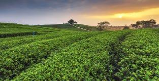 Theeaanplanting bij Zonsopgang, Chui Fong Tea Plantation, Mae Chan, Chiangrai Stock Foto's