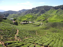 Theeaanplanting, Cameron Highland, Pahang, Maleisië Royalty-vrije Stock Afbeelding