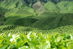 Theeaanplanting in Cameron Highlands Stock Foto's