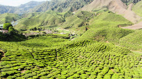 Theeaanplanting, Cameron Highlands, Maleisië Stock Foto