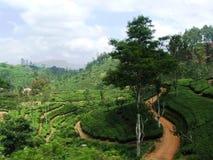 Theeaanplanting in centraal Sri Lanka Stock Foto's