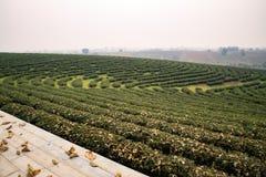 Theeaanplanting in Chiang-rai Thailand stock afbeeldingen