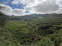 Theeaanplanting de Azoren stock afbeelding