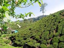 Theeaanplanting in de Heuvels van Cameron Highlands Malaysia stock afbeeldingen