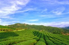 Theeaanplanting in Doi Mae Salong in Chiang Rai, Thailand Stock Fotografie