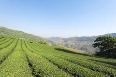 Theeaanplanting in Doi Mae Salong, Chiang Rai, Thailand Mening van t Royalty-vrije Stock Fotografie