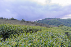 Theeaanplanting en velen huis op berg met doopvontonduidelijk beeld met sel Stock Foto's