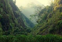 Theeaanplanting in Fujian-Provincie, China Stock Afbeeldingen