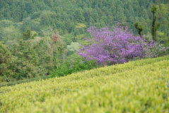 Theeaanplanting in Japan Royalty-vrije Stock Foto's