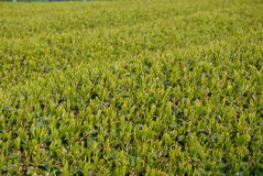 Theeaanplanting in Japan Royalty-vrije Stock Afbeeldingen