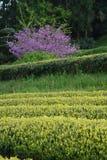 Theeaanplanting in Japan Stock Foto's